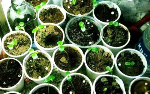 hạt giống chanh leo nảy mầm