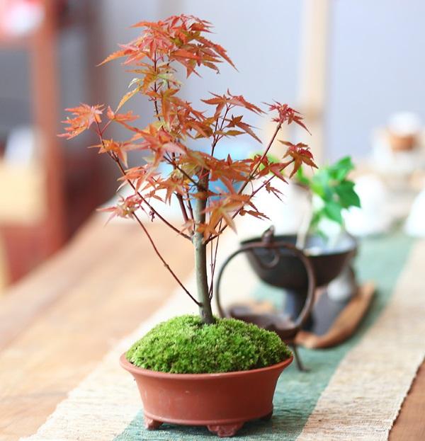 Cây phong lá đỏ để bàn