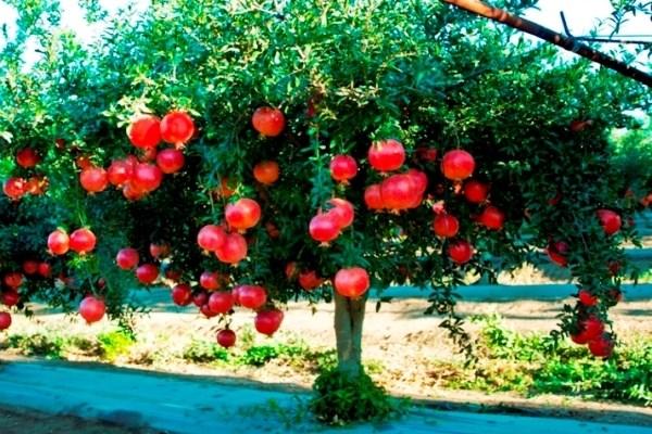 cây lựu đỏ ai cập 4 năm tuổi