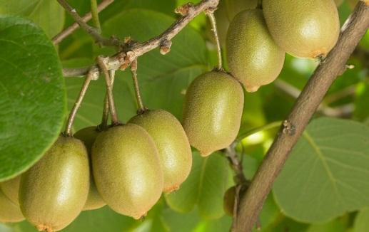 cây giống kiwi