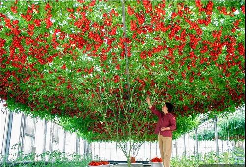 hạt giống cà chua leo giàn