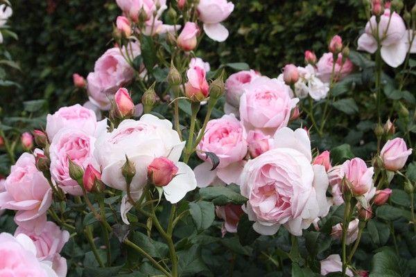 hoa hồng thơm