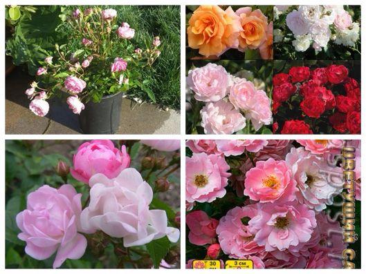 hoa hồng thơm mini