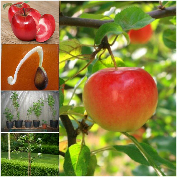 táo ruột đỏ
