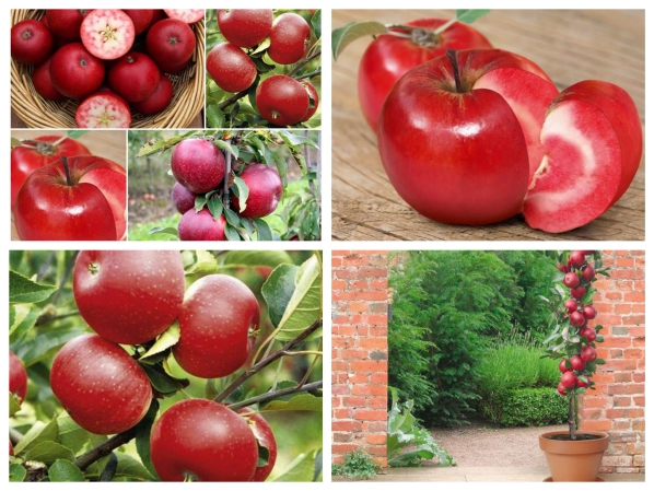 hạt giống táo ruột đỏ