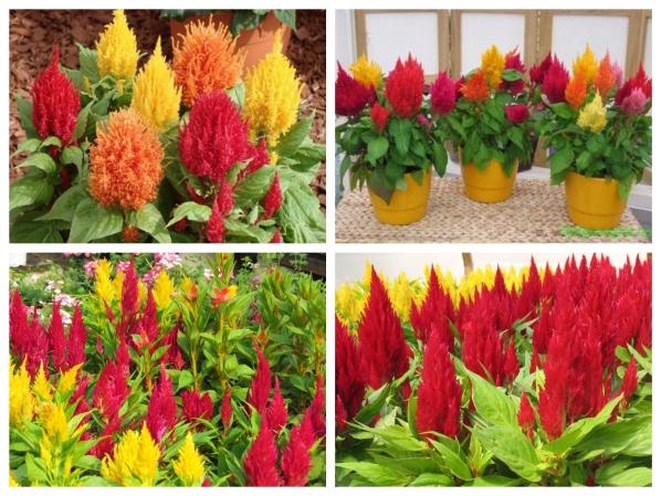 hoa mào gà lửa đỏ f1