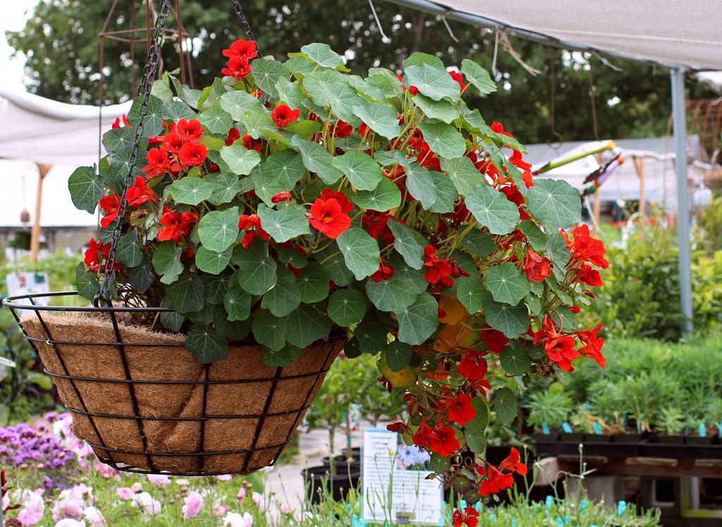 Tự trồng Sen cạn trong chậu cho hoa tuyệt đẹp