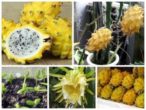 Trọn bộ trồng và chăm sóc hạt giống thanh long vàng