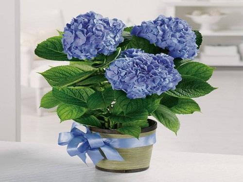 Trọn bộ sản phẩm trồng và chăm sóc hạt giống hoa cẩm tú cầu mix màu