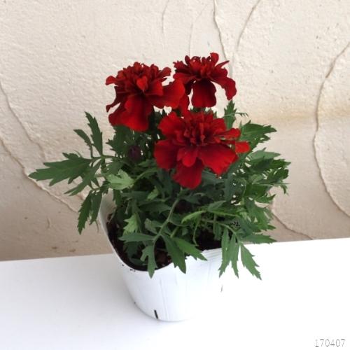 Hạt Giống Hoa Vạn Thọ Pháp Màu Đỏ Gói Zin - Tặng Thuốc Trừ Bệnh Cao Cấp