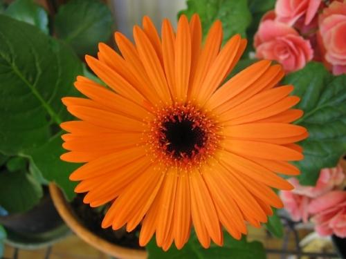 Trọn bộ sản phẩm trồng và chăm sóc hạt giống hoa đồng tiền mix màu