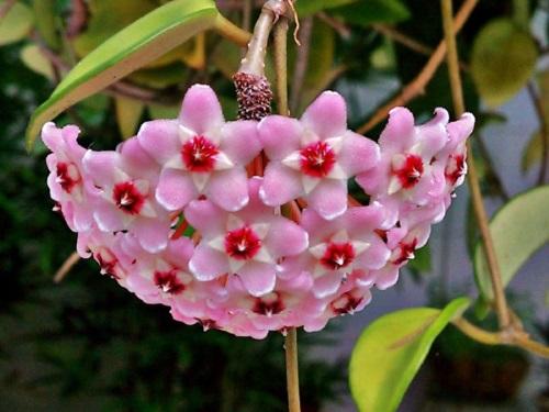 Hạt Giống Hoa Lan Cẩm Cù Tuyệt đẹp