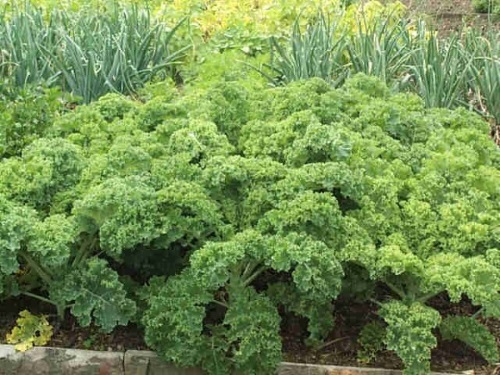 Trọn Bộ Trồng Và Chăm Sóc Giống Cải Kale Khổng Lồ