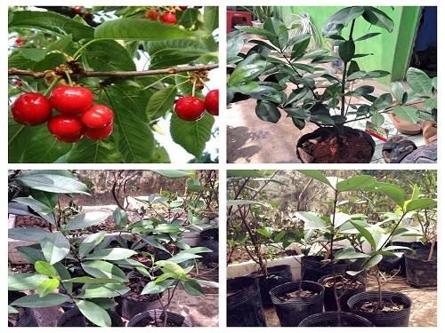 Cây Giống Cherry Nhiệt Đới - Braxin