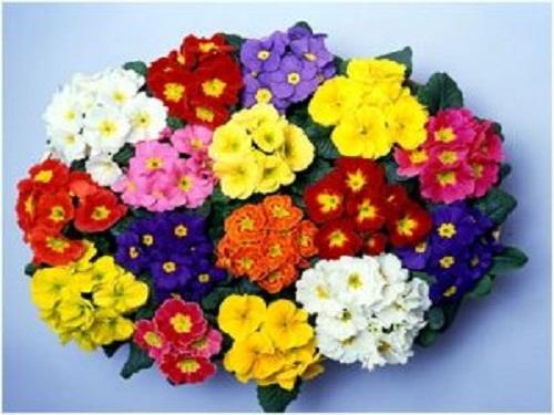 Trọn bộ sản phẩm trồng và chăm sóc hạt giống hoa báo xuân