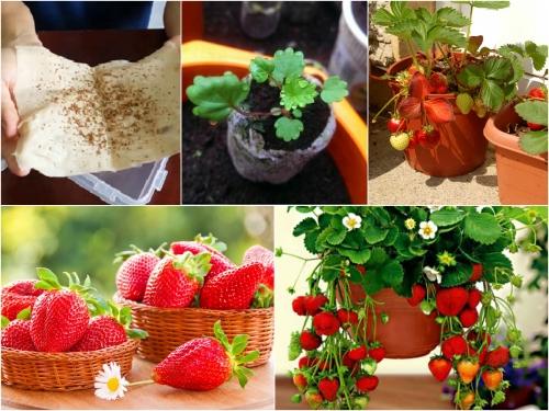 Trọn bộ trồng và chăm sóc hạt giống dâu tây chịu nhiệt Nhật Bản
