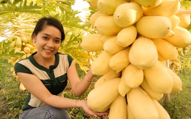 Bộ Hạt Giống Đu Đủ Vàng (1 gói hạt giống + 3 viên nén + 1 thuốc trừ bệnh + 4 chậu ươm mầm)