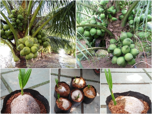 Cây Giống Dừa Xiêm Dứa Lùn Cao Sản ( Dừa Xiêm Lùn)