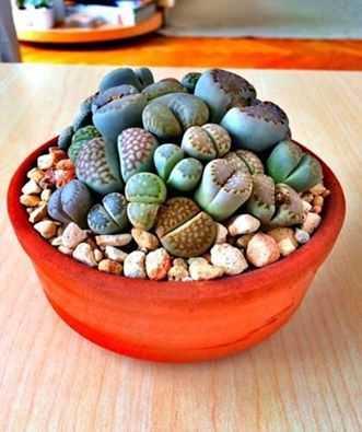 Hạt Giống Đá sống - Thạch Lan mix màu
