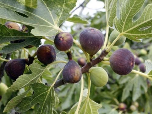 Trọn bộ trồng và chăm sóc cây giống sung đường -  sung mỹ