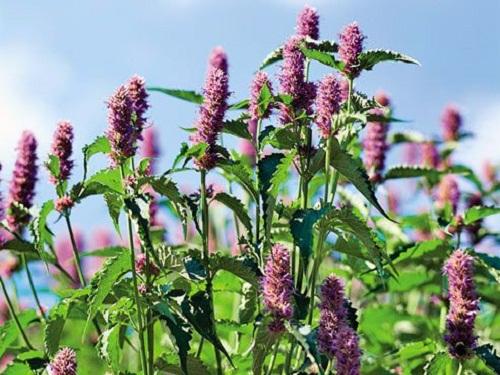 Trọn bộ sản phẩm trồng và chăm sóc hạt giống bạc hà mexico