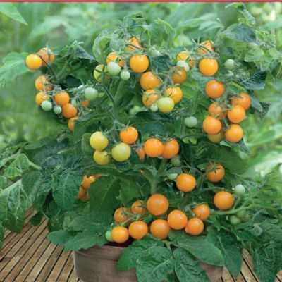 Hạt giống cà chua bi tròn lùn vàng