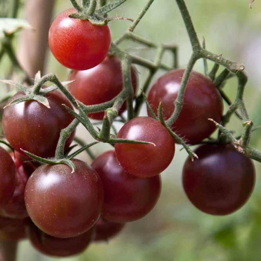 Hạt giống Cà chua Cherry Socola
