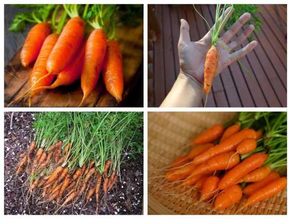 Hạt giống Cà rốt mini