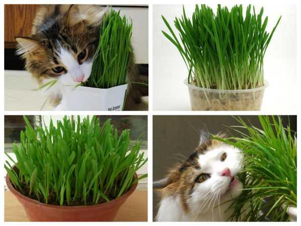 Hạt giống Cỏ cho Mèo Cho Chó Thú Cưng