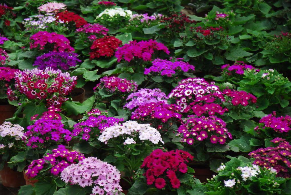 Hạt Giống Hoa Cúc Lá Nho