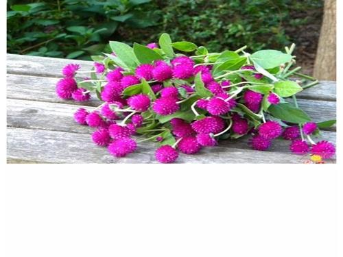 Trọn bộ sản phẩm trồng và chăm sóc hạt giống hoa cúc bách nhật