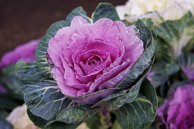 Hạt giống Hoa bắp cải mix màu
