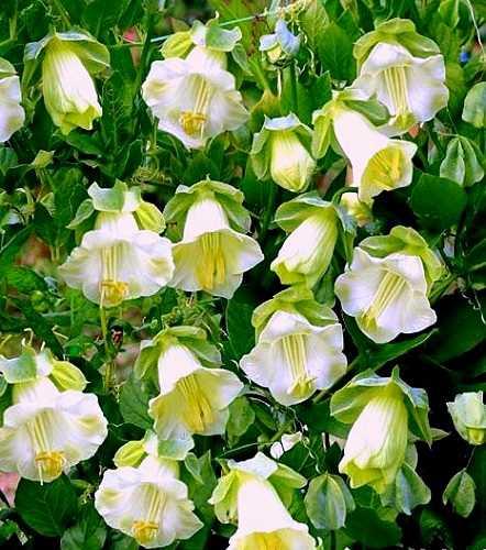 Hạt Giống Hoa Chuông Lùn Mix Màu