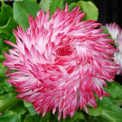 Hạt giống hoa cúc Anh Belli mix màu