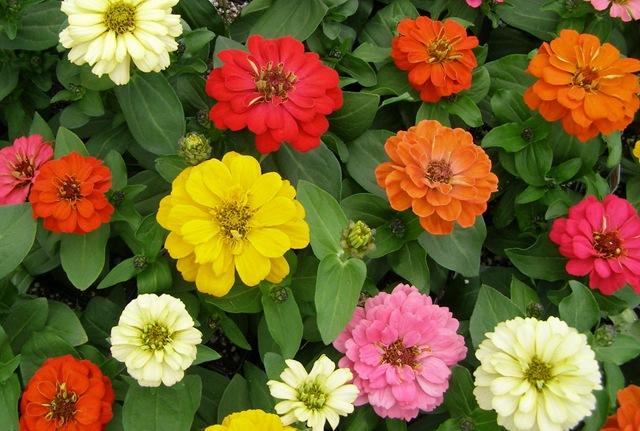 Hạt Giống Hoa Cúc Lá Nhám - Zinnia