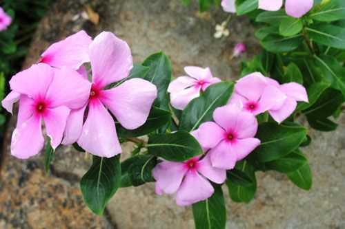 Hạt giống hoa dừa cạn cánh đơn