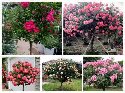Hạt giống Hoa hồng thân gỗ - Tree Rose