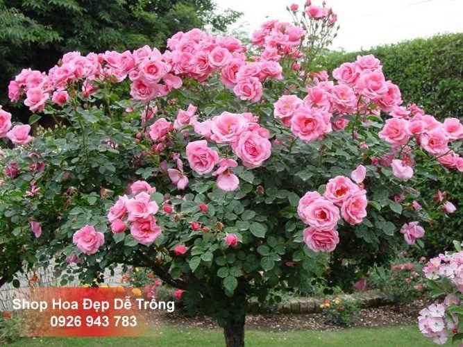 Hạt giống Hoa hồng thân gỗ - Tree Rose - Gói 20 hạt