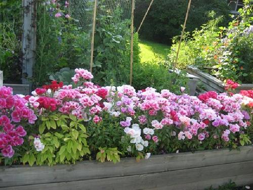 Hạt Giống Hoa Hồng Xuân