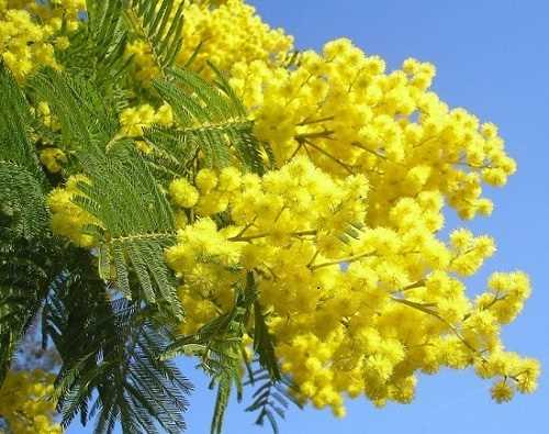 Hạt Giống Hoa Mimosa