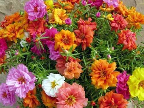 Hạt giống hoa mười giờ mix màu