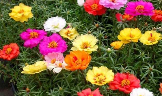 Hạt giống hoa mười giờ mỹ mix màu