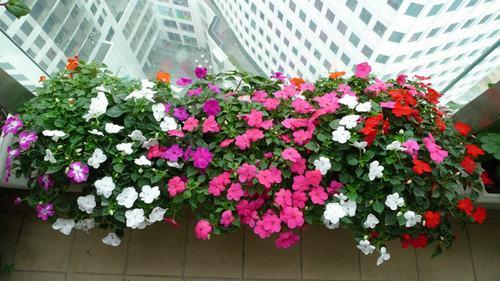 Hạt Giống Hoa Ngọc Thảo