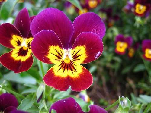 Hạt giống Hoa Pansy - Panse - Hoa Cánh Bướm Nhún Mix Màu