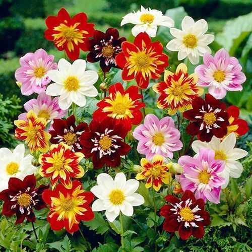 Hạt giống hoa thược dược kép lùn mix màu