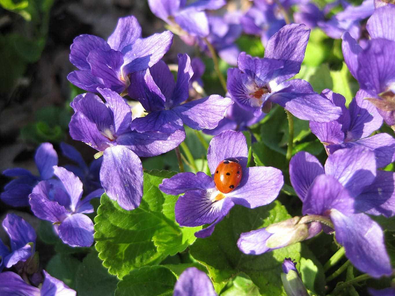 Hạt Giống Hoa Viola Xanh