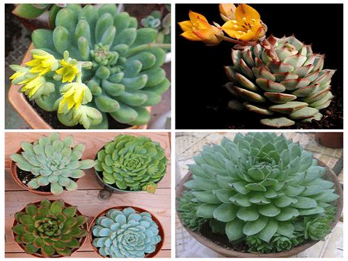 Trọn bộ sản phẩm trồng và chăm sóc hạt giống hoa sen đá mix màu