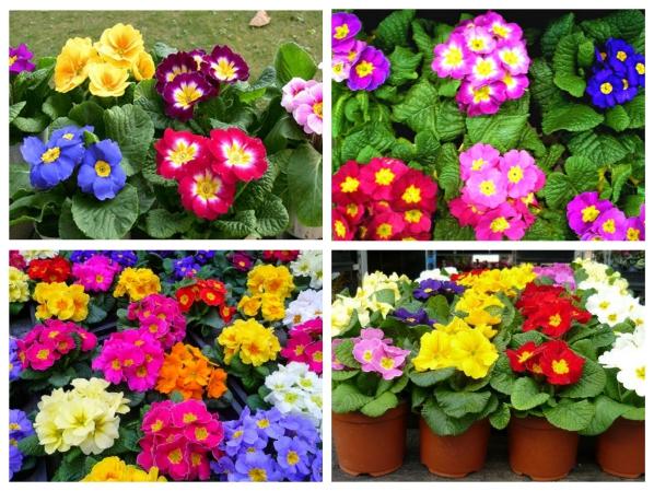 Hạt Giống Hoa Báo Xuân Nhiều Màu