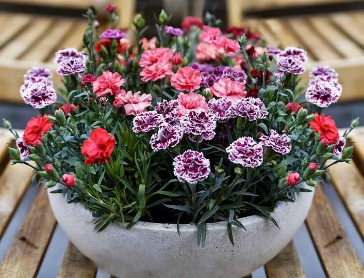 Hạt Giống Hoa Cẩm Chướng Lùn - Chùm Nhiều Màu