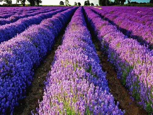 Bộ hạt giống hoa Oải Hương